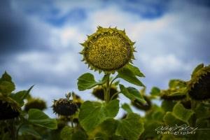 Sunflower Field near Blois, France, 2011
